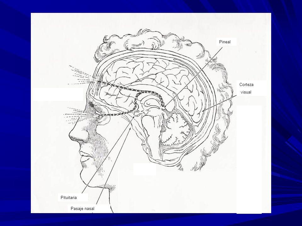 Recorrido de la visión interna o tercer ojo Pituitaria Pasaje nasal Corteza visual Pineal