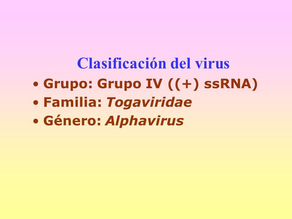Clasificación del virus Grupo: Grupo IV ((+) ssRNA) Familia: Togaviridae Género: Alphavirus