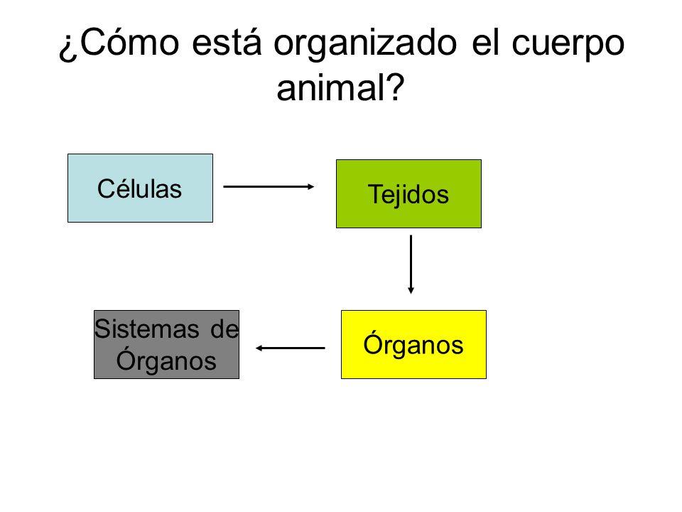 ¿Cómo está organizado el cuerpo animal? Células Tejidos Sistemas de Órganos