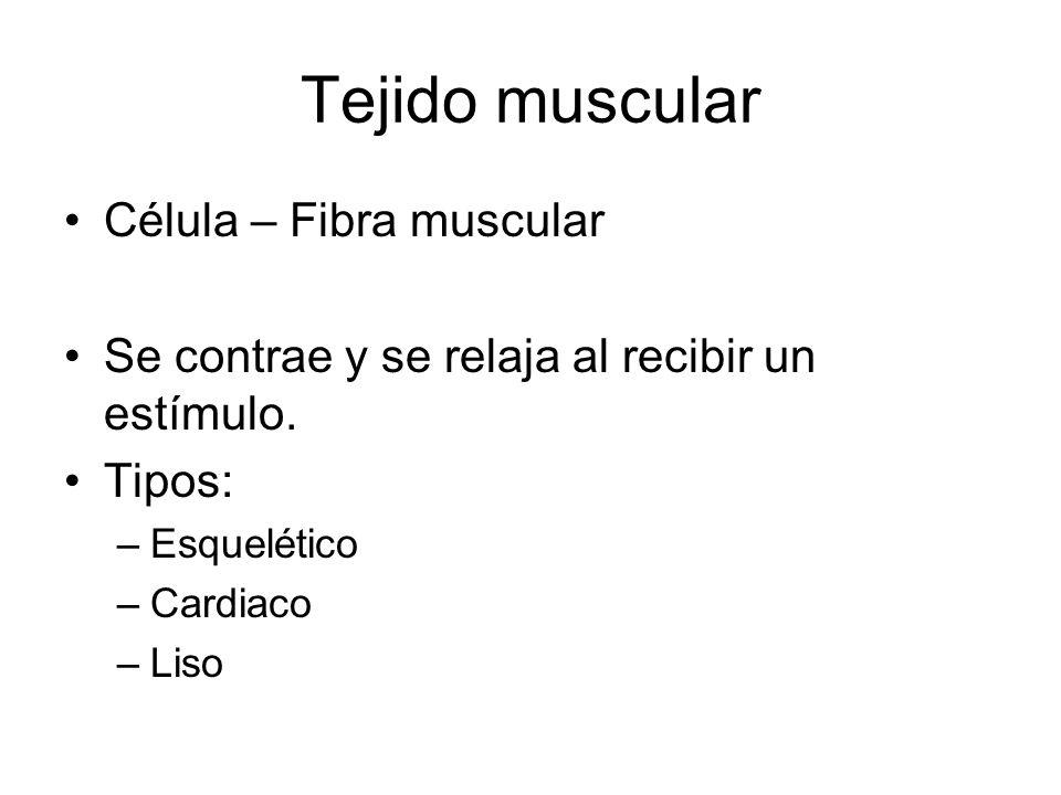 Tejido muscular Célula – Fibra muscular Se contrae y se relaja al recibir un estímulo. Tipos: –Esquelético –Cardiaco –Liso