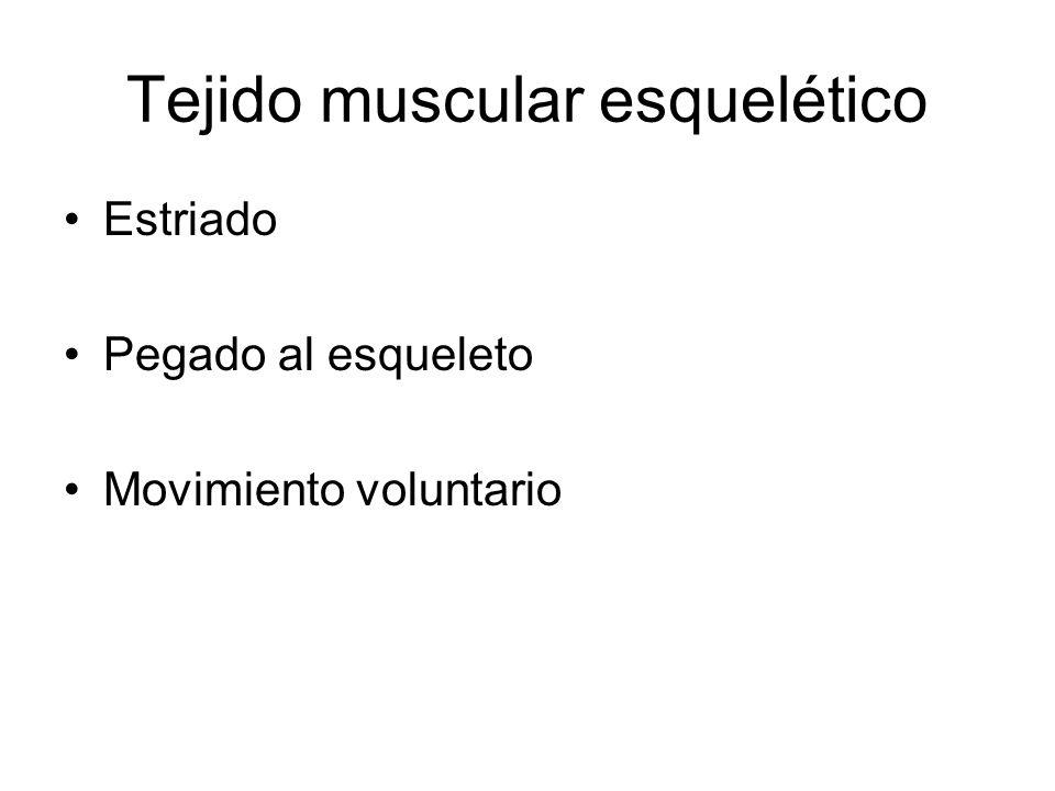 Tejido muscular esquelético Estriado Pegado al esqueleto Movimiento voluntario