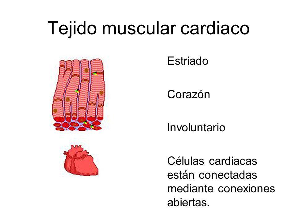 Tejido muscular cardiaco Estriado Corazón Involuntario Células cardiacas están conectadas mediante conexiones abiertas.