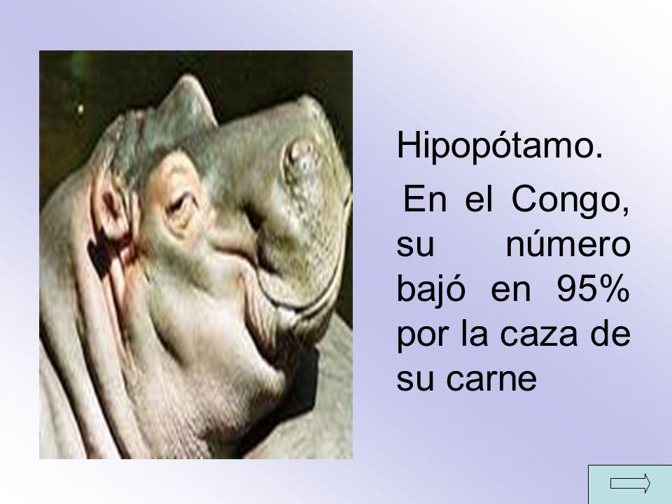 Hipopótamo. En el Congo, su número bajó en 95% por la caza de su carne