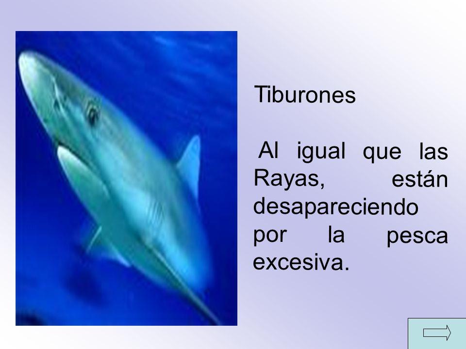 Tiburones Al igual que las Rayas, están desapareciendo por la pesca excesiva.