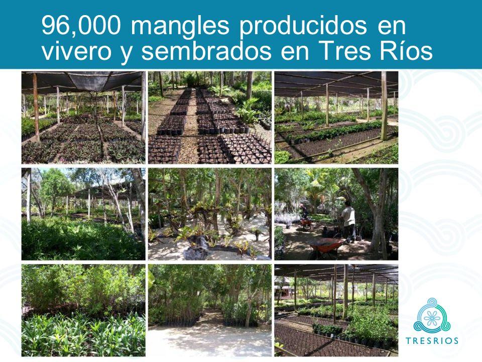 96,000 mangles producidos en vivero y sembrados en Tres Ríos
