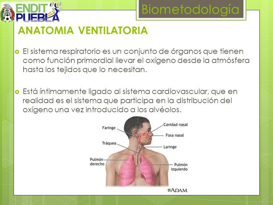ANATOMIA VENTILATORIA El sistema respiratorio es un conjunto de órganos que tienen como función primordial llevar el oxígeno desde la atmósfera hasta