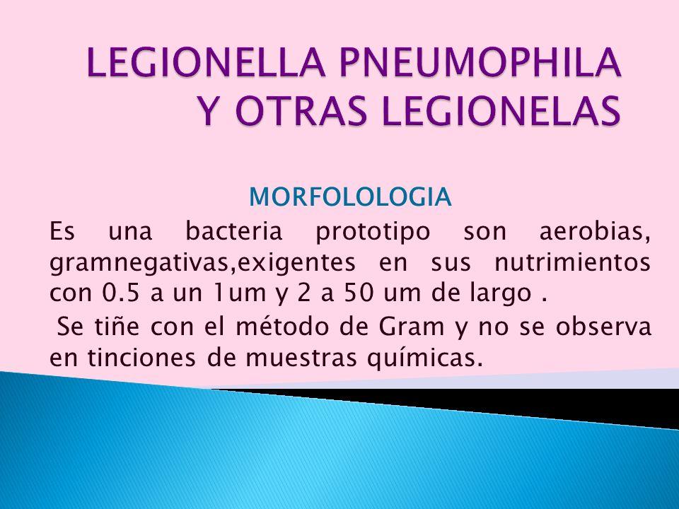 MORFOLOLOGIA Es una bacteria prototipo son aerobias, gramnegativas,exigentes en sus nutrimientos con 0.5 a un 1um y 2 a 50 um de largo. Se tiñe con el