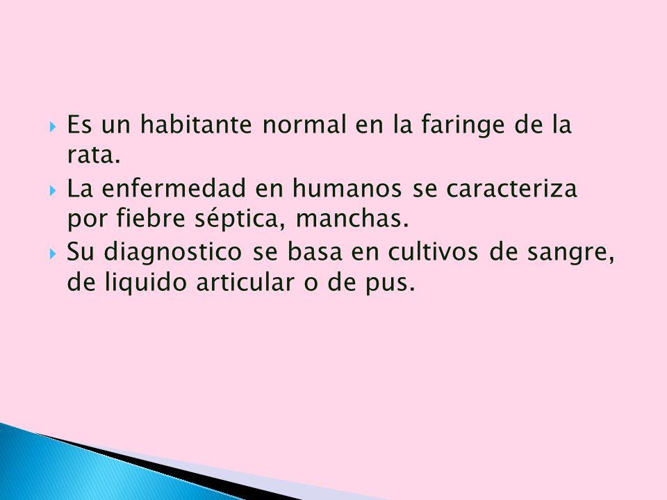 Es un habitante normal en la faringe de la rata. La enfermedad en humanos se caracteriza por fiebre séptica, manchas. Su diagnostico se basa en cultiv