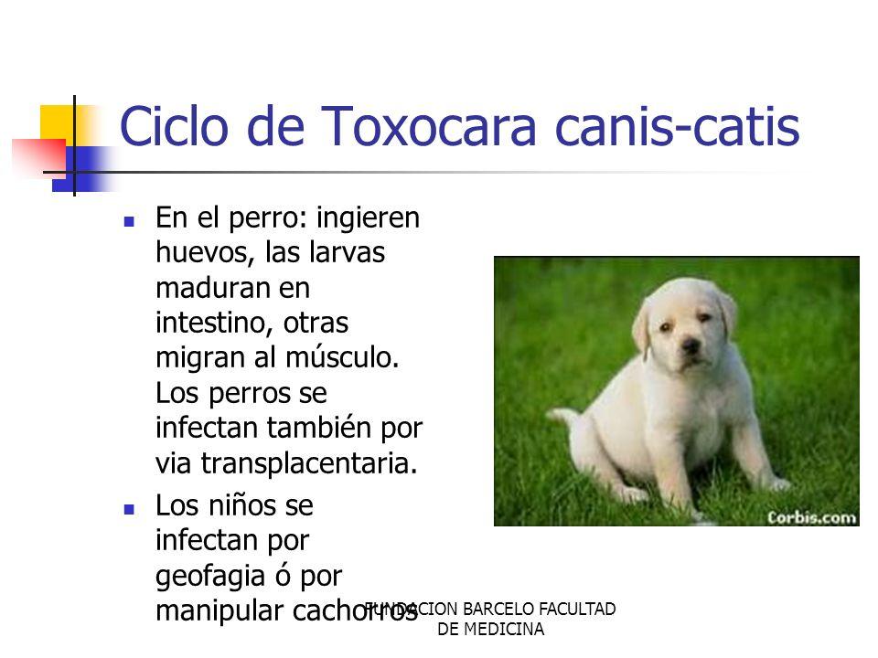 FUNDACION BARCELO FACULTAD DE MEDICINA Ciclo de Toxocara canis-catis En el perro: ingieren huevos, las larvas maduran en intestino, otras migran al mú