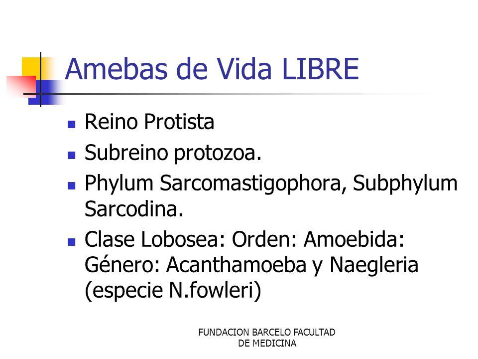 FUNDACION BARCELO FACULTAD DE MEDICINA Amebas de Vida LIBRE Reino Protista Subreino protozoa. Phylum Sarcomastigophora, Subphylum Sarcodina. Clase Lob