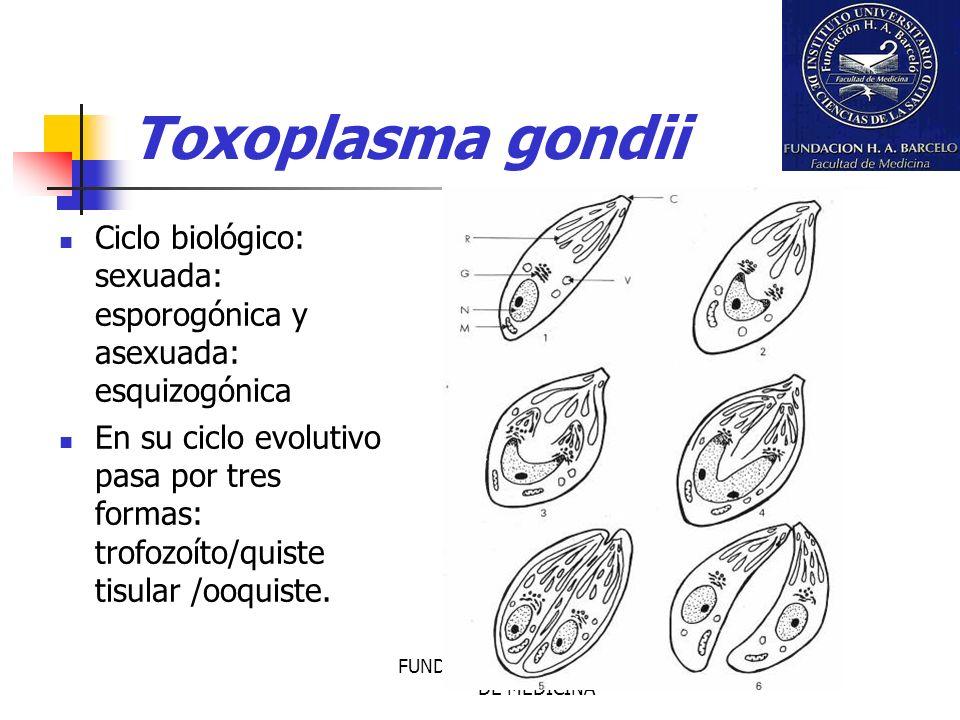 FUNDACION BARCELO FACULTAD DE MEDICINA Toxoplasma gondii Ciclo biológico: sexuada: esporogónica y asexuada: esquizogónica En su ciclo evolutivo pasa p