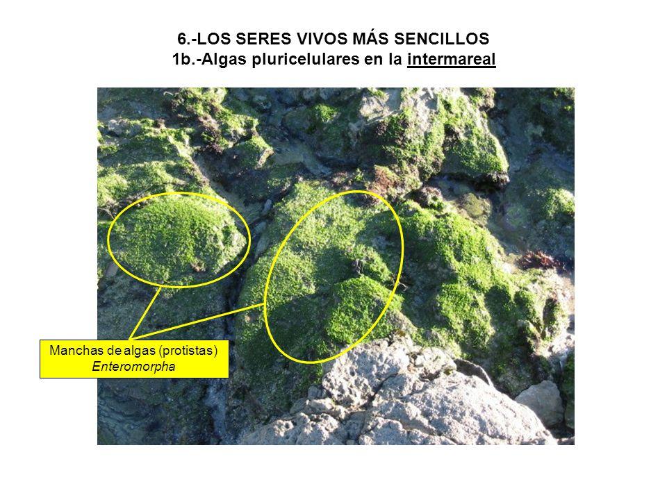 6.-LOS SERES VIVOS MÁS SENCILLOS 1b.-Algas pluricelulares en la intermareal Manchas de algas (protistas) Enteromorpha