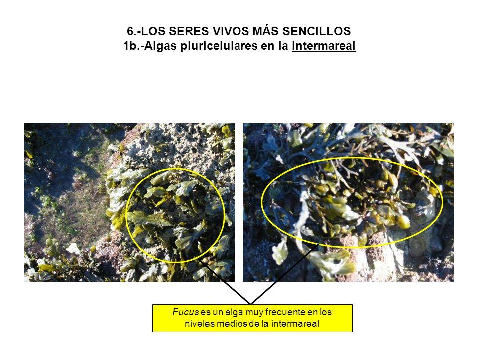 6.-LOS SERES VIVOS MÁS SENCILLOS 1b.-Algas pluricelulares en la intermareal Fucus es un alga muy frecuente en los niveles medios de la intermareal
