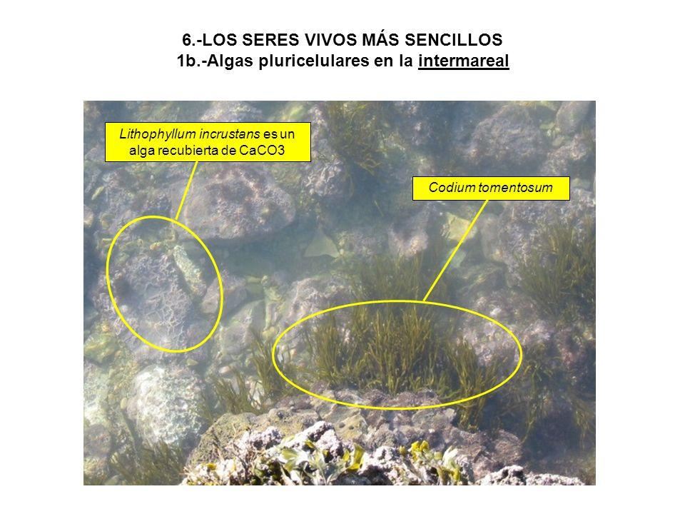 6.-LOS SERES VIVOS MÁS SENCILLOS 1b.-Algas pluricelulares en la intermareal Lithophyllum incrustans es un alga recubierta de CaCO3 Codium tomentosum