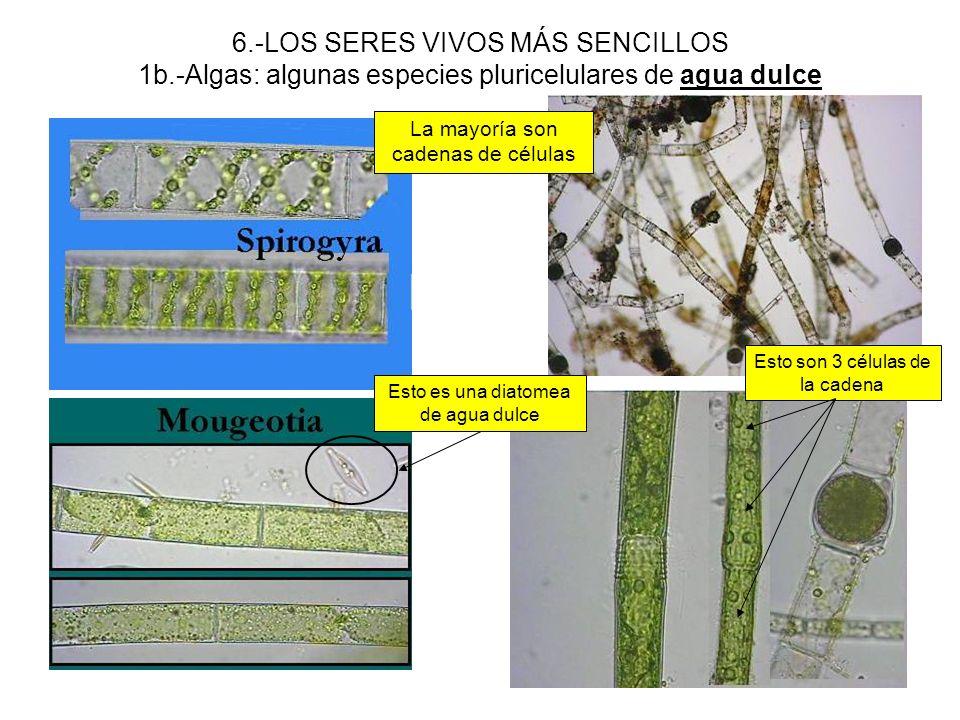 6.-LOS SERES VIVOS MÁS SENCILLOS 1b.-Algas: algunas especies pluricelulares de agua dulce La mayoría son cadenas de células Esto es una diatomea de ag