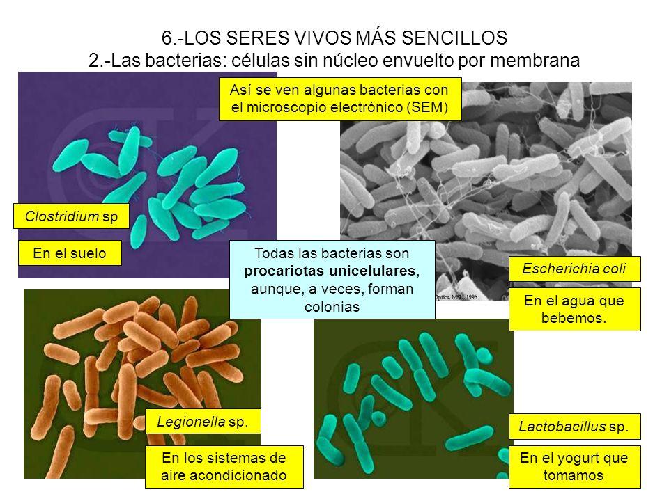 6.-LOS SERES VIVOS MÁS SENCILLOS 2.-Las bacterias: células sin núcleo envuelto por membrana Clostridium sp Lactobacillus sp. Legionella sp. Escherichi