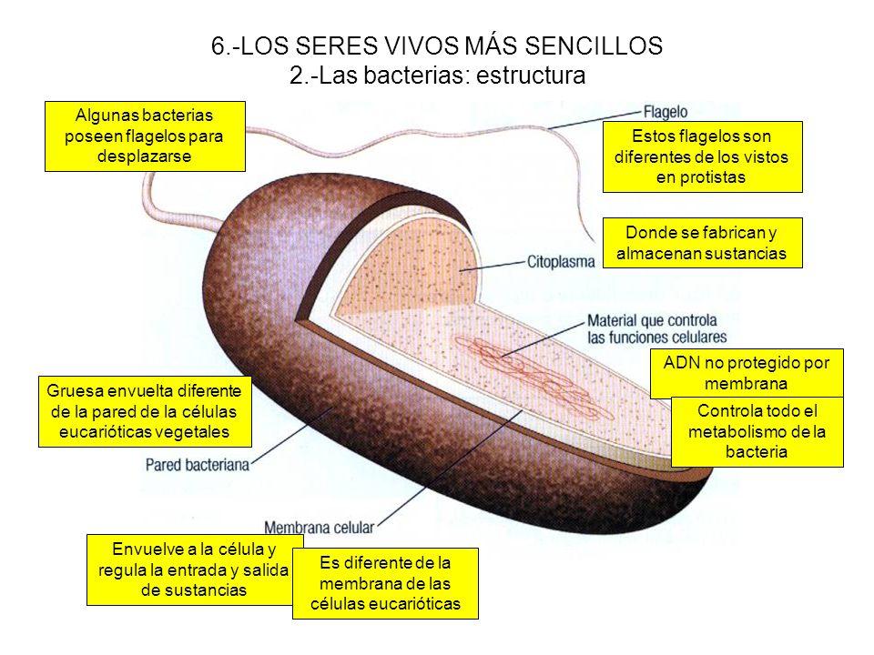 6.-LOS SERES VIVOS MÁS SENCILLOS 2.-Las bacterias: estructura Gruesa envuelta diferente de la pared de la células eucarióticas vegetales Envuelve a la