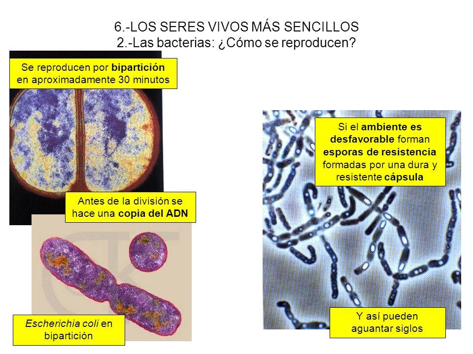 6.-LOS SERES VIVOS MÁS SENCILLOS 2.-Las bacterias: ¿Cómo se reproducen? Se reproducen por bipartición en aproximadamente 30 minutos Antes de la divisi