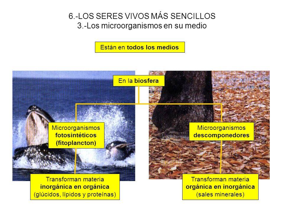 6.-LOS SERES VIVOS MÁS SENCILLOS 3.-Los microorganismos en su medio Están en todos los medios En la biosfera Microorganismos descomponedores Microorga