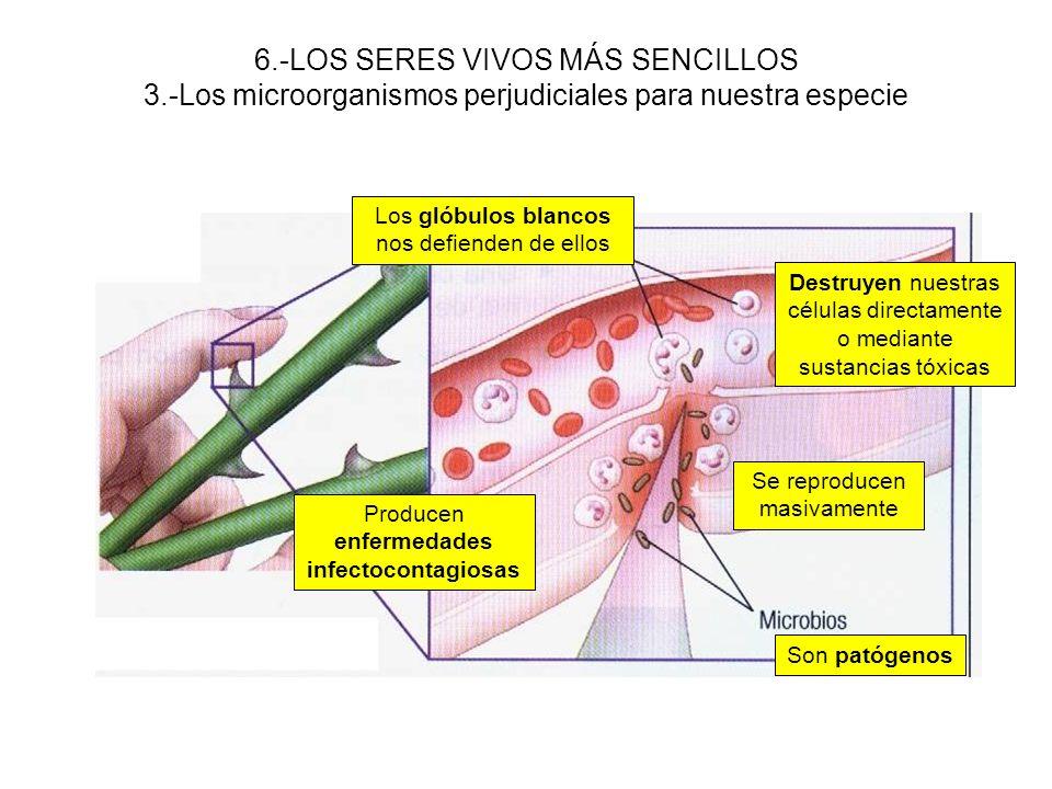 6.-LOS SERES VIVOS MÁS SENCILLOS 3.-Los microorganismos perjudiciales para nuestra especie Son patógenos Producen enfermedades infectocontagiosas Los