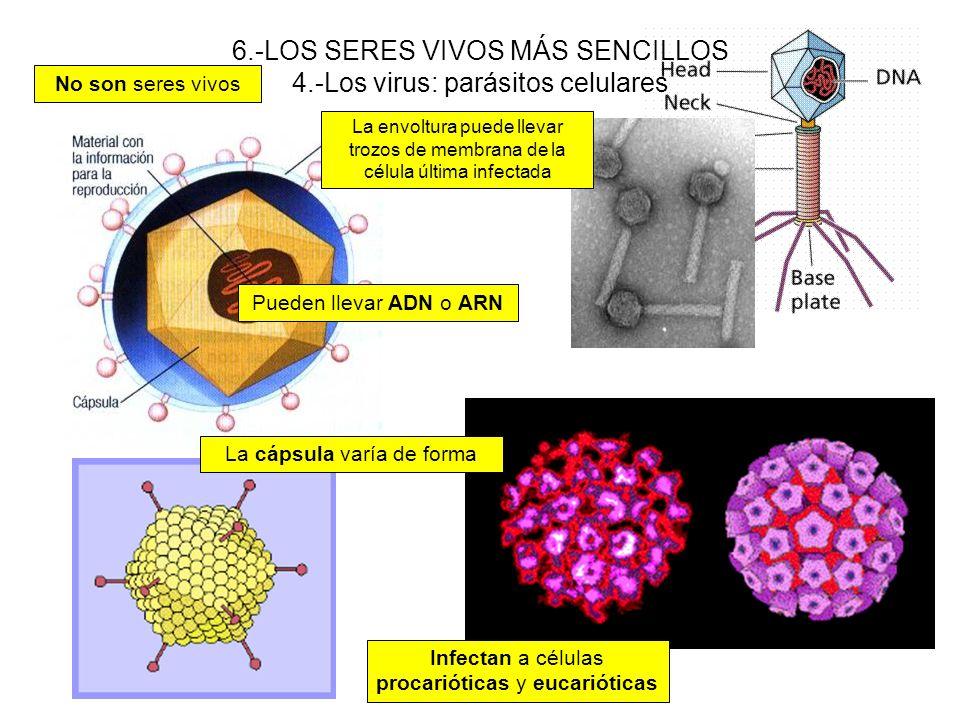 6.-LOS SERES VIVOS MÁS SENCILLOS 4.-Los virus: parásitos celulares No son seres vivos La envoltura puede llevar trozos de membrana de la célula última