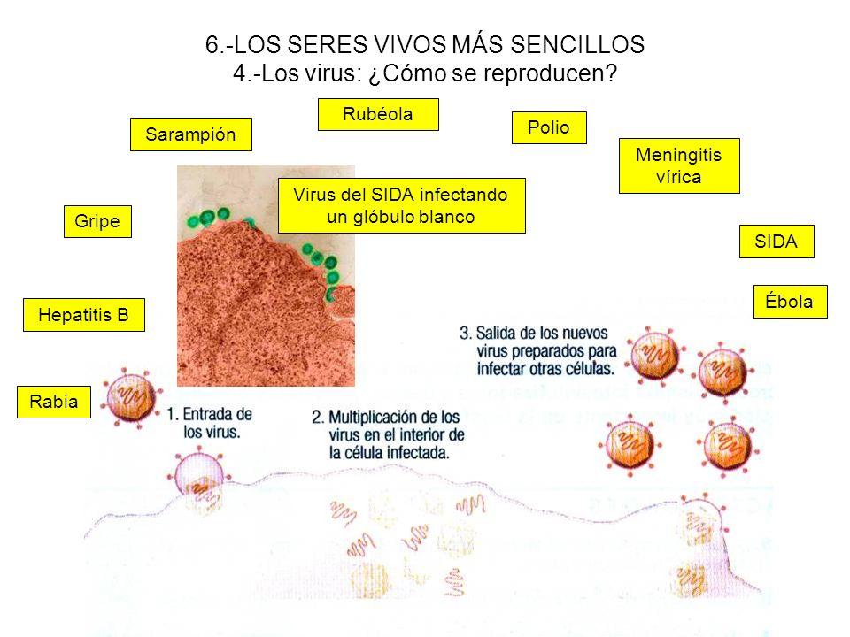 6.-LOS SERES VIVOS MÁS SENCILLOS 4.-Los virus: ¿Cómo se reproducen? Virus del SIDA infectando un glóbulo blanco SIDA Polio Rubéola Sarampión Gripe Ébo