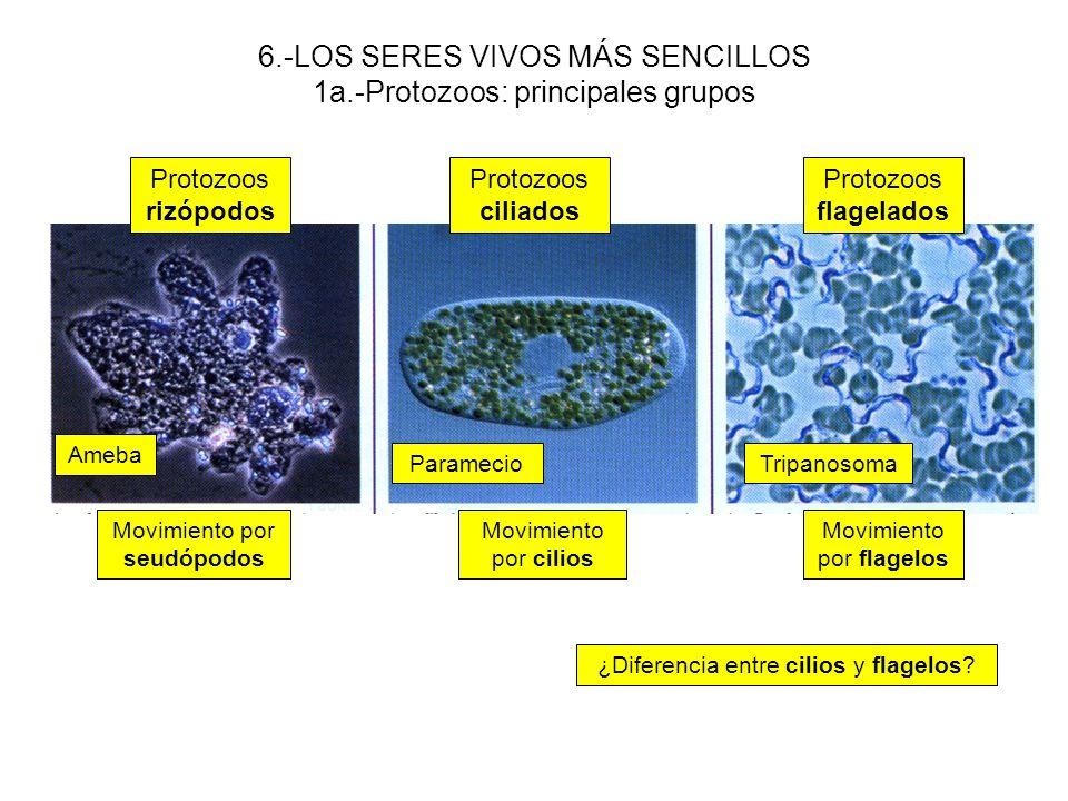 6.-LOS SERES VIVOS MÁS SENCILLOS 1a.-Protozoos: principales grupos Protozoos rizópodos Protozoos ciliados Protozoos flagelados Ameba TripanosomaParame