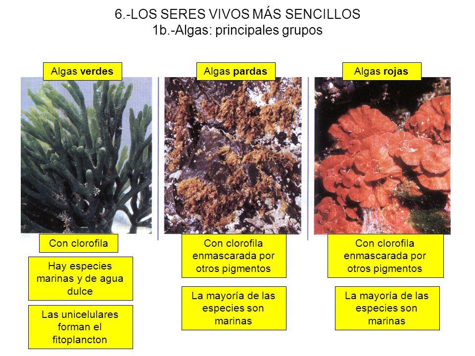 6.-LOS SERES VIVOS MÁS SENCILLOS 1b.-Algas: principales grupos Algas verdesAlgas pardasAlgas rojas Con clorofilaCon clorofila enmascarada por otros pi