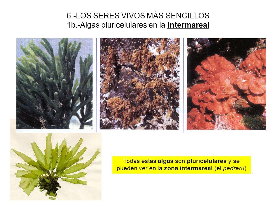 6.-LOS SERES VIVOS MÁS SENCILLOS 1b.-Algas pluricelulares en la intermareal Todas estas algas son pluricelulares y se pueden ver en la zona intermarea