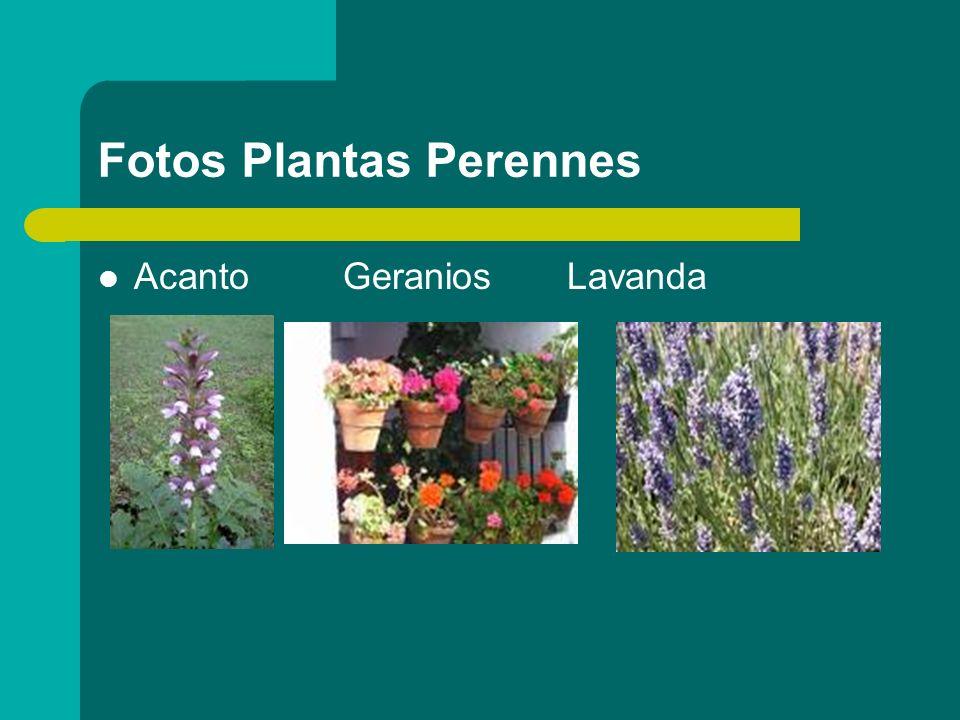 Fotos Plantas Perennes Acanto Geranios Lavanda