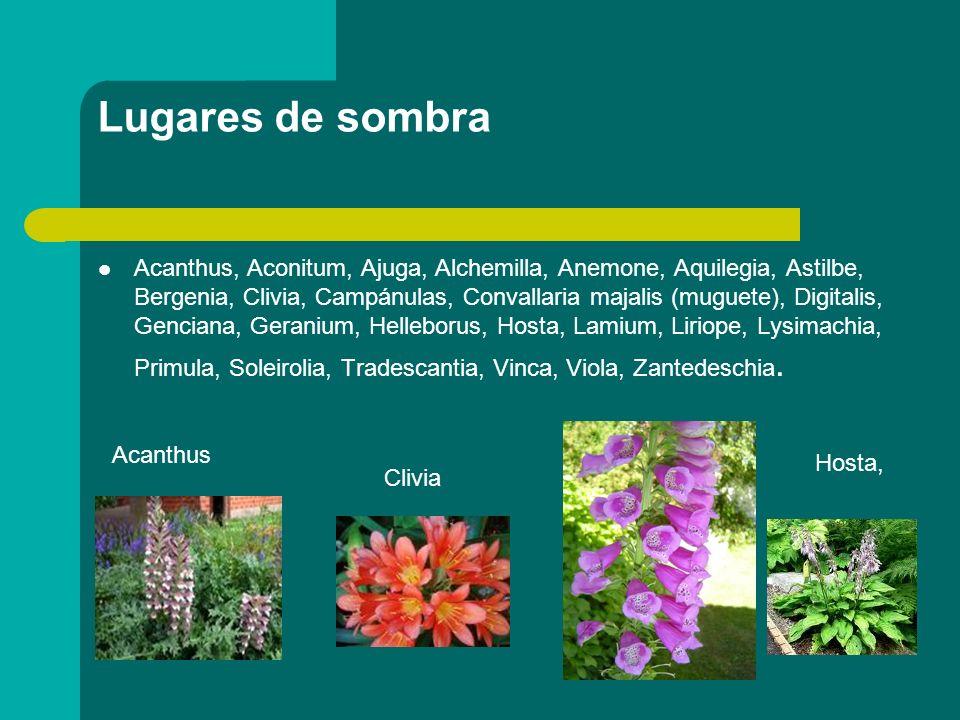 Lugares de sombra Acanthus, Aconitum, Ajuga, Alchemilla, Anemone, Aquilegia, Astilbe, Bergenia, Clivia, Campánulas, Convallaria majalis (muguete), Dig