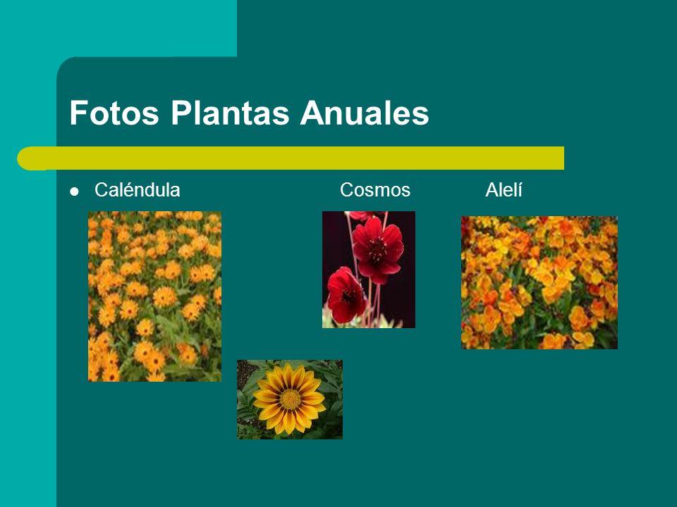 Fotos Plantas Anuales Alegría de la casa (Impatiens walleriana) Petunia