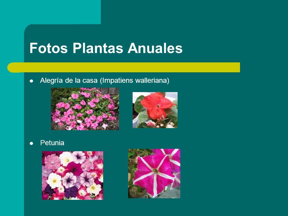 Plantas bianuales Aparte de las ANUALES, tenemos también las llamadas PLANTAS BIANUALES.