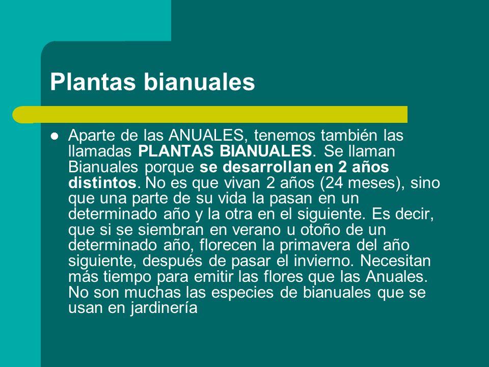 Plantas bianuales Aparte de las ANUALES, tenemos también las llamadas PLANTAS BIANUALES. Se llaman Bianuales porque se desarrollan en 2 años distintos