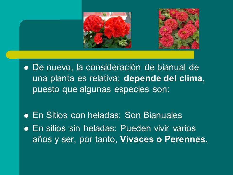 De nuevo, la consideración de bianual de una planta es relativa; depende del clima, puesto que algunas especies son: En Sitios con heladas: Son Bianua