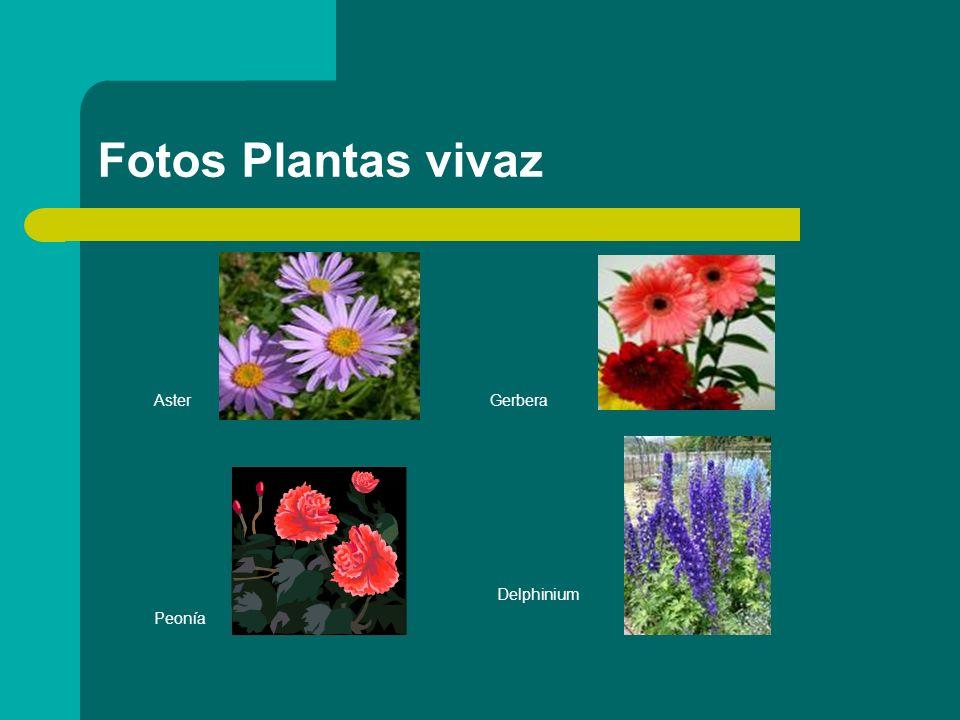 Fotos Plantas vivaz AsterGerbera Delphinium Peonía