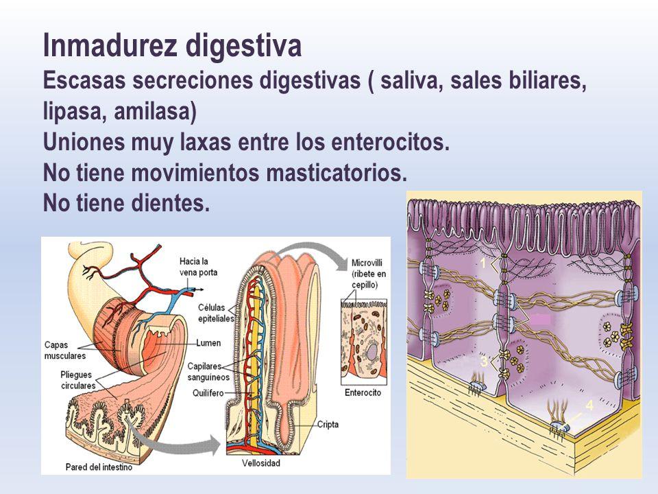 Inmadurez digestiva Escasas secreciones digestivas ( saliva, sales biliares, lipasa, amilasa) Uniones muy laxas entre los enterocitos.