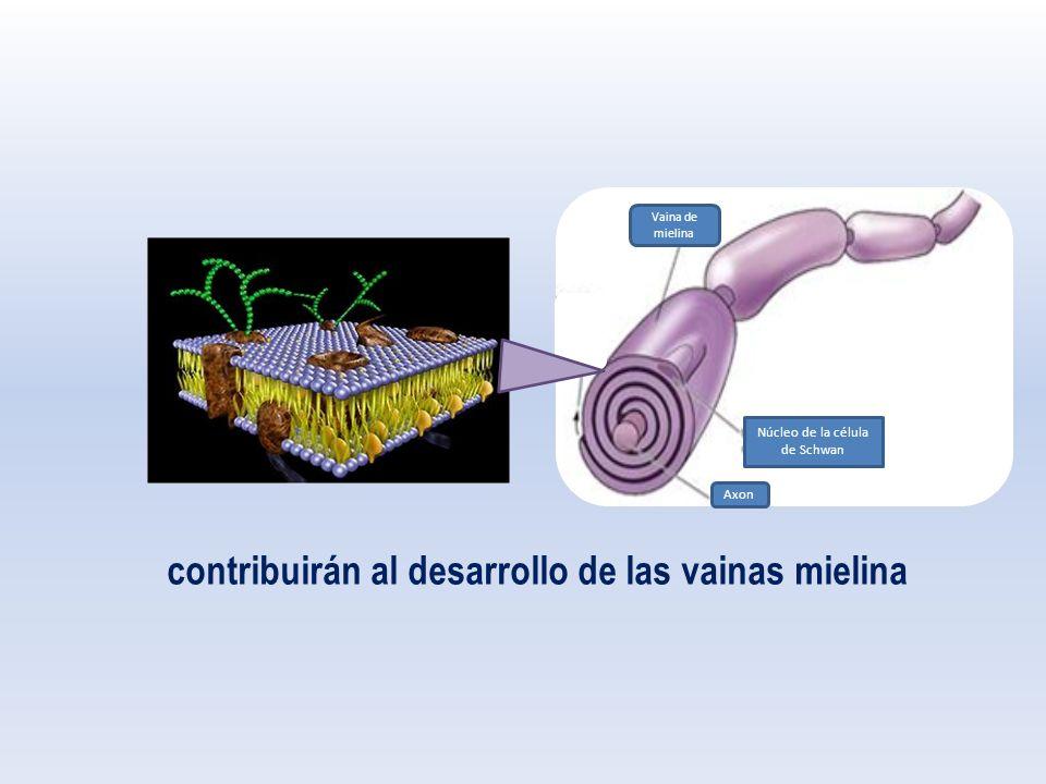 Vaina de mielina Núcleo de la célula de Schwan contribuirán al desarrollo de las vainas mielina Axon
