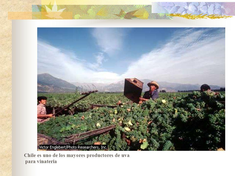 Chile es uno de los mayores productores de uva para vinateria