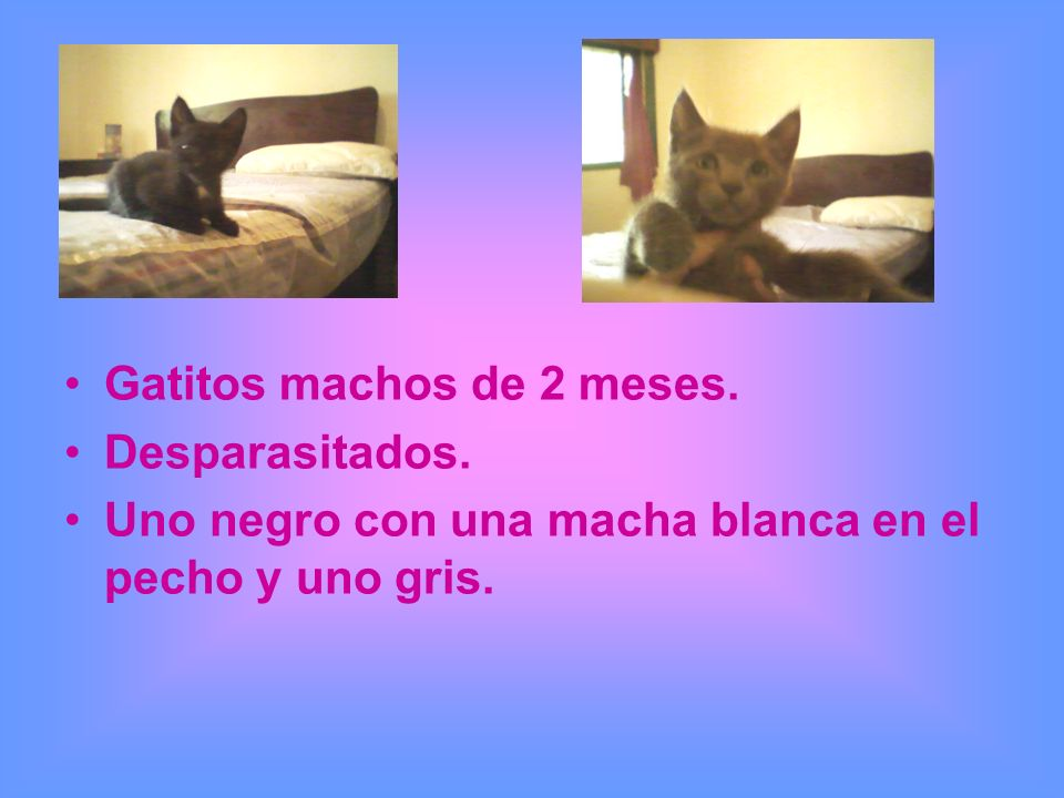 Gatitos machos de 2 meses. Desparasitados. Uno negro con una macha blanca en el pecho y uno gris.