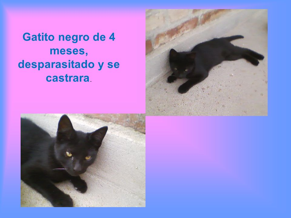 Gatito negro de 4 meses, desparasitado y se castrara.