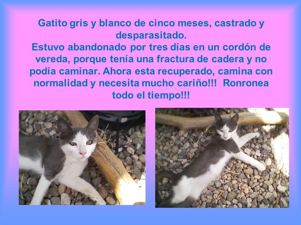 Gatito gris y blanco de cinco meses, castrado y desparasitado. Estuvo abandonado por tres días en un cordón de vereda, porque tenía una fractura de ca