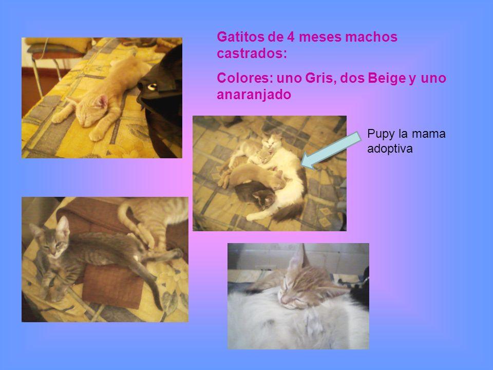 Gatitos de 4 meses machos castrados: Colores: uno Gris, dos Beige y uno anaranjado Pupy la mama adoptiva