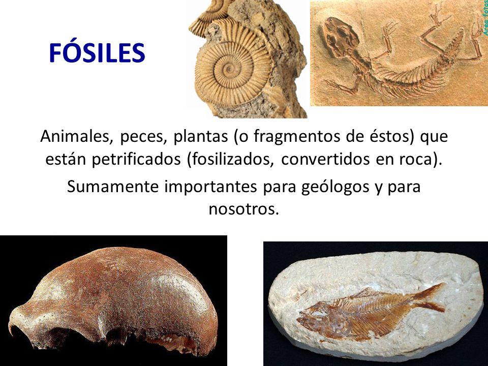 FÓSILES Animales, peces, plantas (o fragmentos de éstos) que están petrificados (fosilizados, convertidos en roca). Sumamente importantes para geólogo