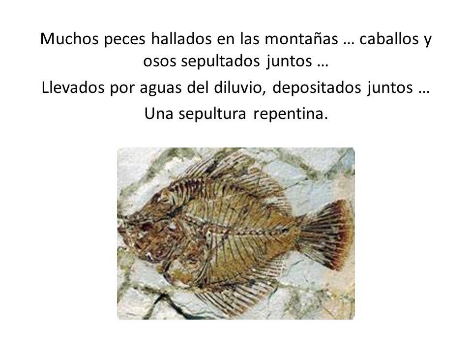 Muchos peces hallados en las montañas … caballos y osos sepultados juntos … Llevados por aguas del diluvio, depositados juntos … Una sepultura repenti