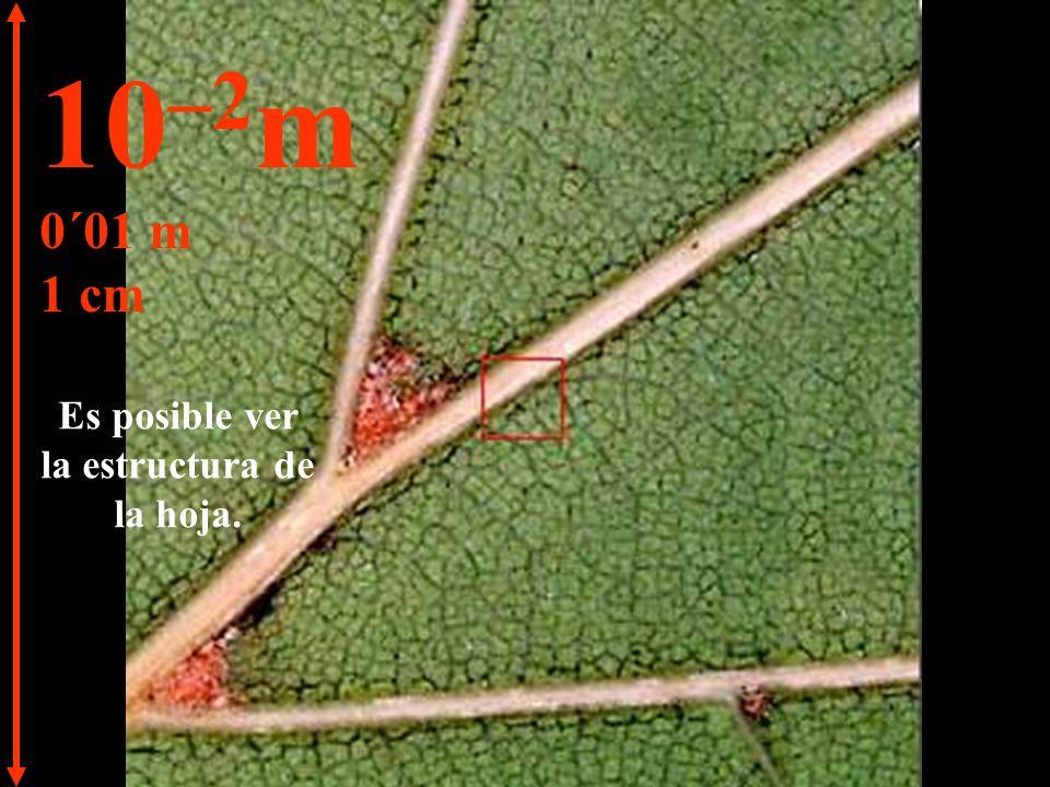 Al acercarnos podemos distinguir una hoja de la rama. 10 –1 m 0´1 m 10 cm