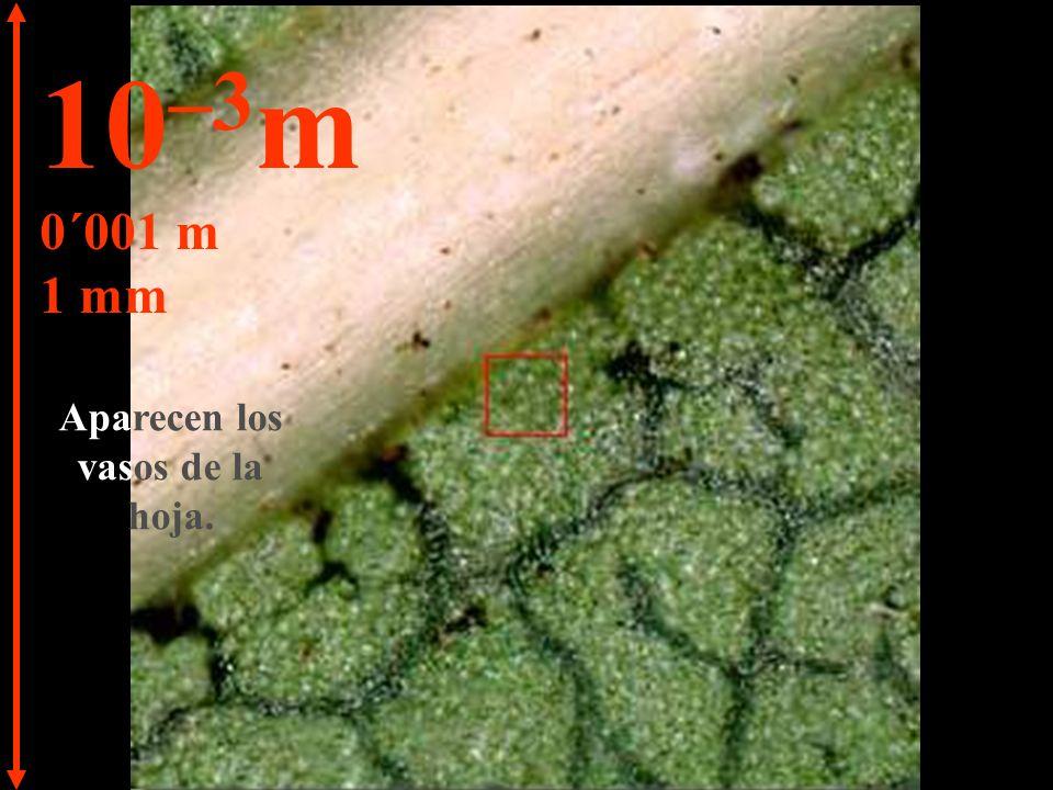 Es posible ver la estructura de la hoja. 10 –2 m 0´01 m 1 cm