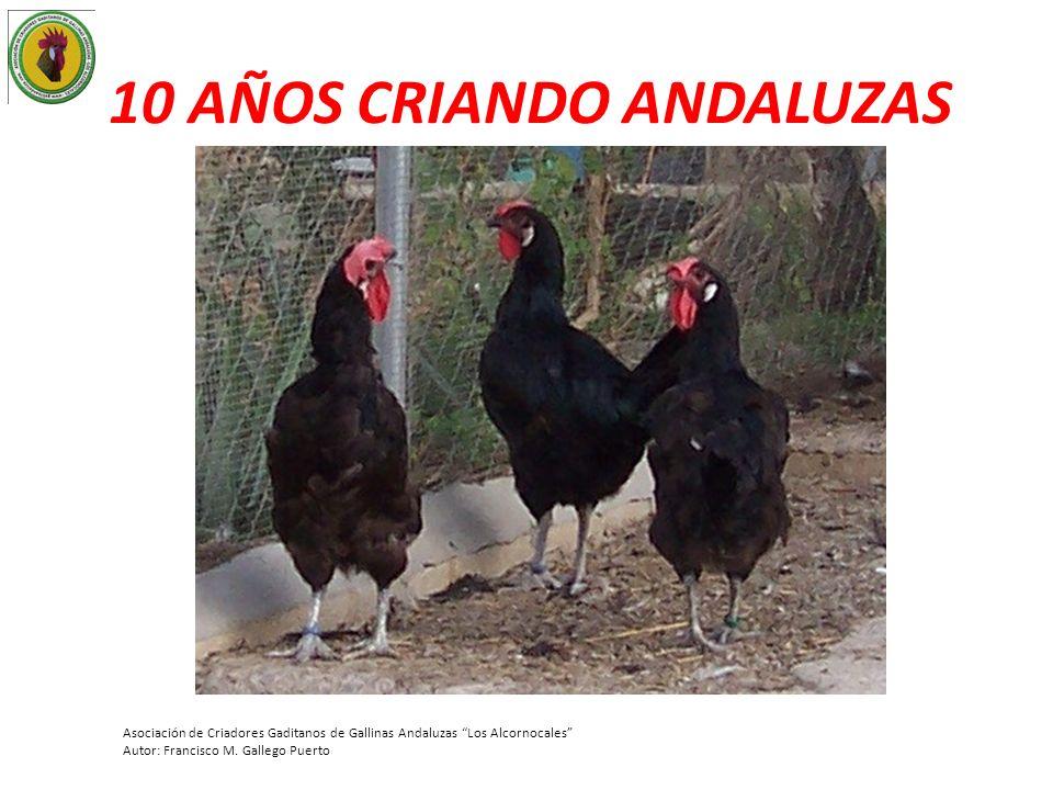 10 AÑOS CRIANDO ANDALUZAS Asociación de Criadores Gaditanos de Gallinas Andaluzas Los Alcornocales Autor: Francisco M. Gallego Puerto