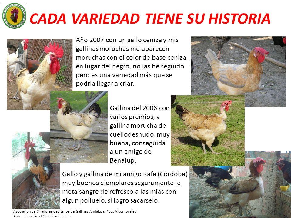 CADA VARIEDAD TIENE SU HISTORIA Año 2007 con un gallo ceniza y mis gallinas moruchas me aparecen moruchas con el color de base ceniza en lugar del neg