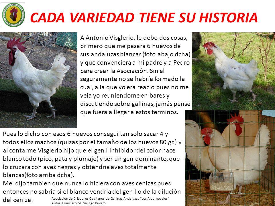 CADA VARIEDAD TIENE SU HISTORIA A Antonio Visglerio, le debo dos cosas, primero que me pasara 6 huevos de sus andaluzas blancas (foto abajo dcha) y qu